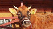 Miłość prosto od krowy