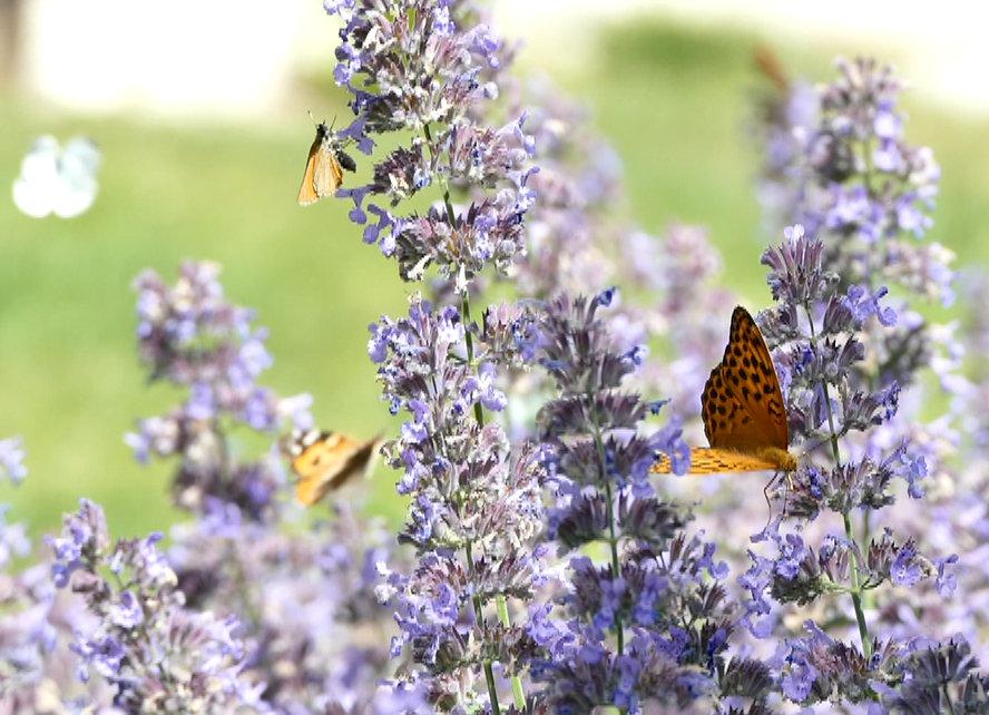 Jak motyle