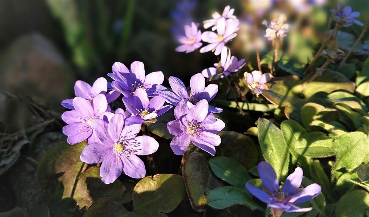 Wiosenne przylaszczki