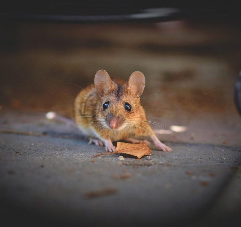 Pani Mysz